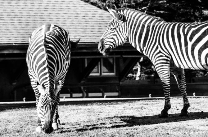 Grant's Zebra