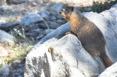 Yosemite: Yellow-Bellied Marmot near May Lake
