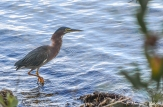 Biscayne National Park - Green Heron