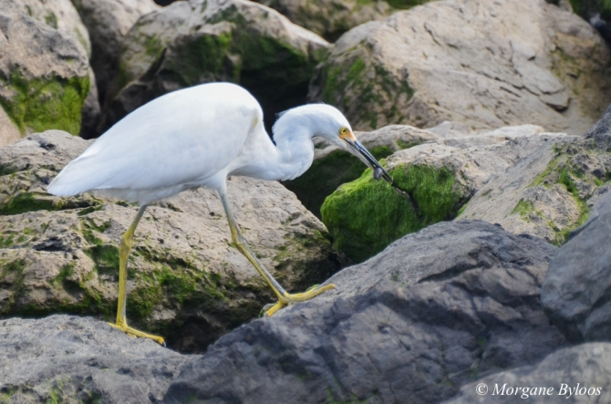 Snowy Egret - Foster City, CA