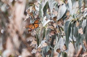 Monarch butterflies - Pacific Grove, CA