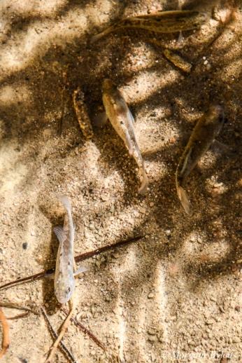 Death Valley - Salt Creek Pupfish