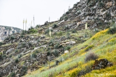 Sequoia NP: Yucca in bloom on the hillside