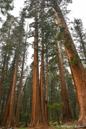 Sequoia National Park: The Giant Forest's Big Trees Trail