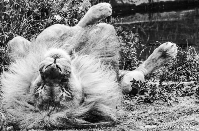 La photo du mois: Lion at SF Zoo
