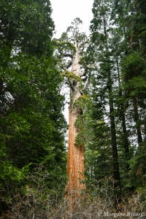 Kings Canyon NP: General Grant Tree in Grant Grove