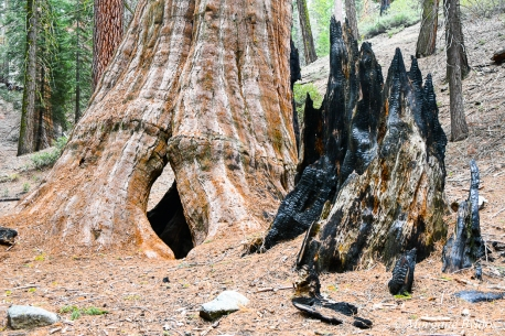 Kings Canyon NP: Giant Sequoia in Grant Grove