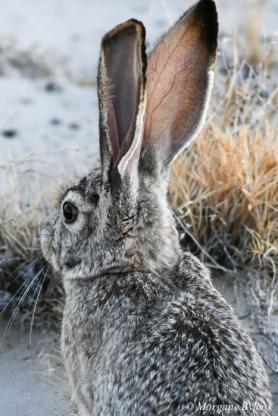 Ash Meadows National Wildlife Refuge: blacktail jackrabbit
