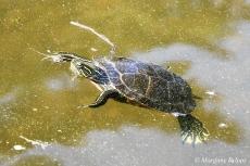 Voyageurs National Park: Painted Turtle at Kabetogama Lake