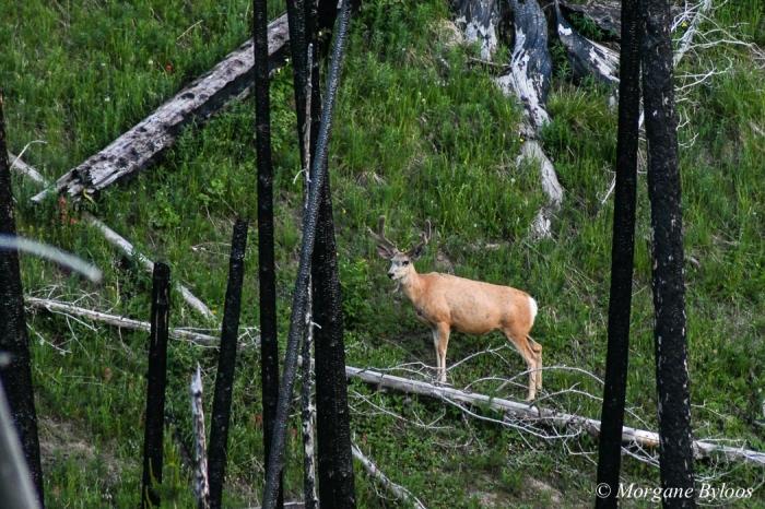Yellowstone: mule deer