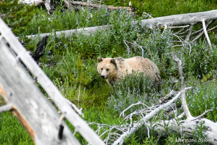 Yellowstone: Grizzly Bear