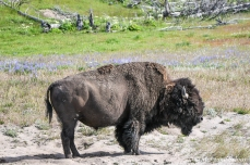 Yellowstone - bison (eastern side)