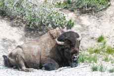 Yellowstone - bison (Mud Volcano area)