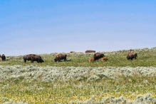 Yellowstone - bison (in Hayden Valley with calves)
