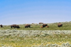 Yellowstone - bison (in Hayden Valley with calves)