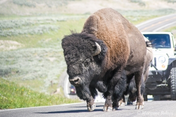 Yellowstone - bison (in Hayden Valley)