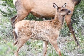 Yellowstone: a calf (elk)