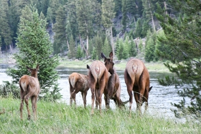 Yellowstone: A herd of cows with their calves about to cross the river (elk)