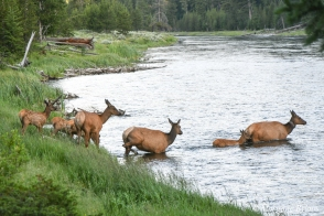 Yellowstone: A herd of cows with their calves crossing the river (elk)