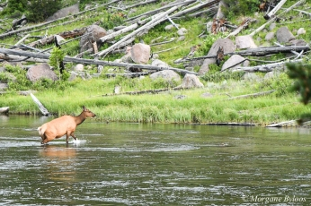 Yellowstone: A cow leading the herd (elk)