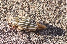 Great Sand Dunes NP - Ten-lined June Beetle