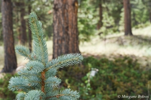 Florissant Fossil Beds NM - Colorado Blue Spruce