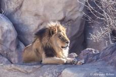 Denver Zoo - African Lion