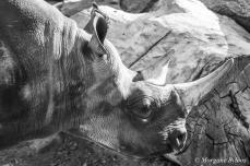 Denver Zoo - Black Rhinoceros