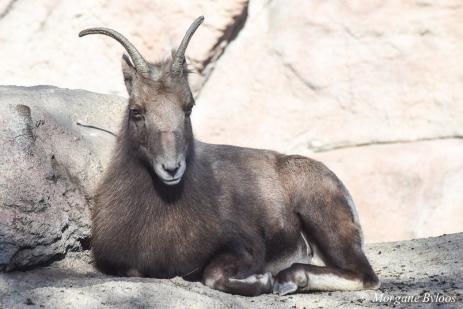 Denver Zoo - Rocky Mountain Bighorn Sheep