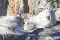 Denver Zoo - Rocky Mountain Goat