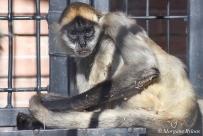 Denver Zoo - Black-handed Spider Monkey