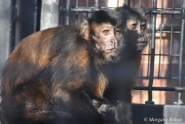 Denver Zoo - Hooded Capuchin