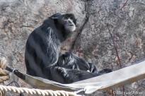 Denver Zoo - Golden-cheeked Gibbon