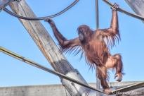 Denver Zoo - Sumatran Orangutan