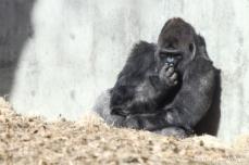 Denver Zoo - Western Lowland Gorilla
