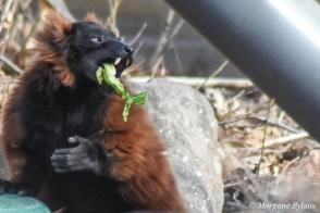 Denver Zoo - Red-ruffed Lemur