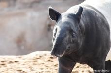 Denver Zoo - Malayan Tapir
