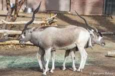 Denver Zoo - Lesser Kudu