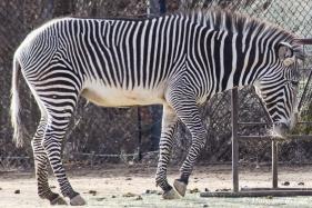 Denver Zoo - Grevy's Zebra